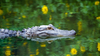Aligátor vére lehet az új csodaellenszer