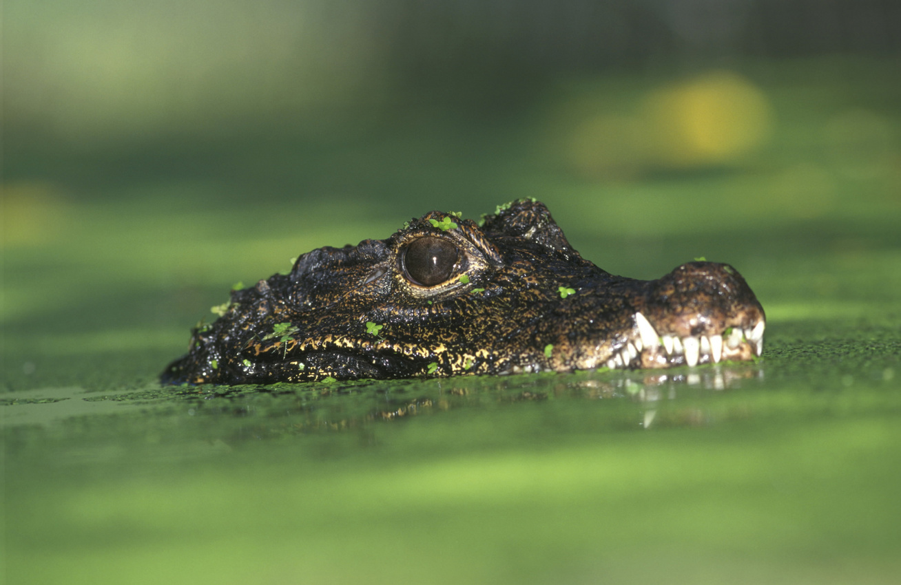 tompaorru-krokodil