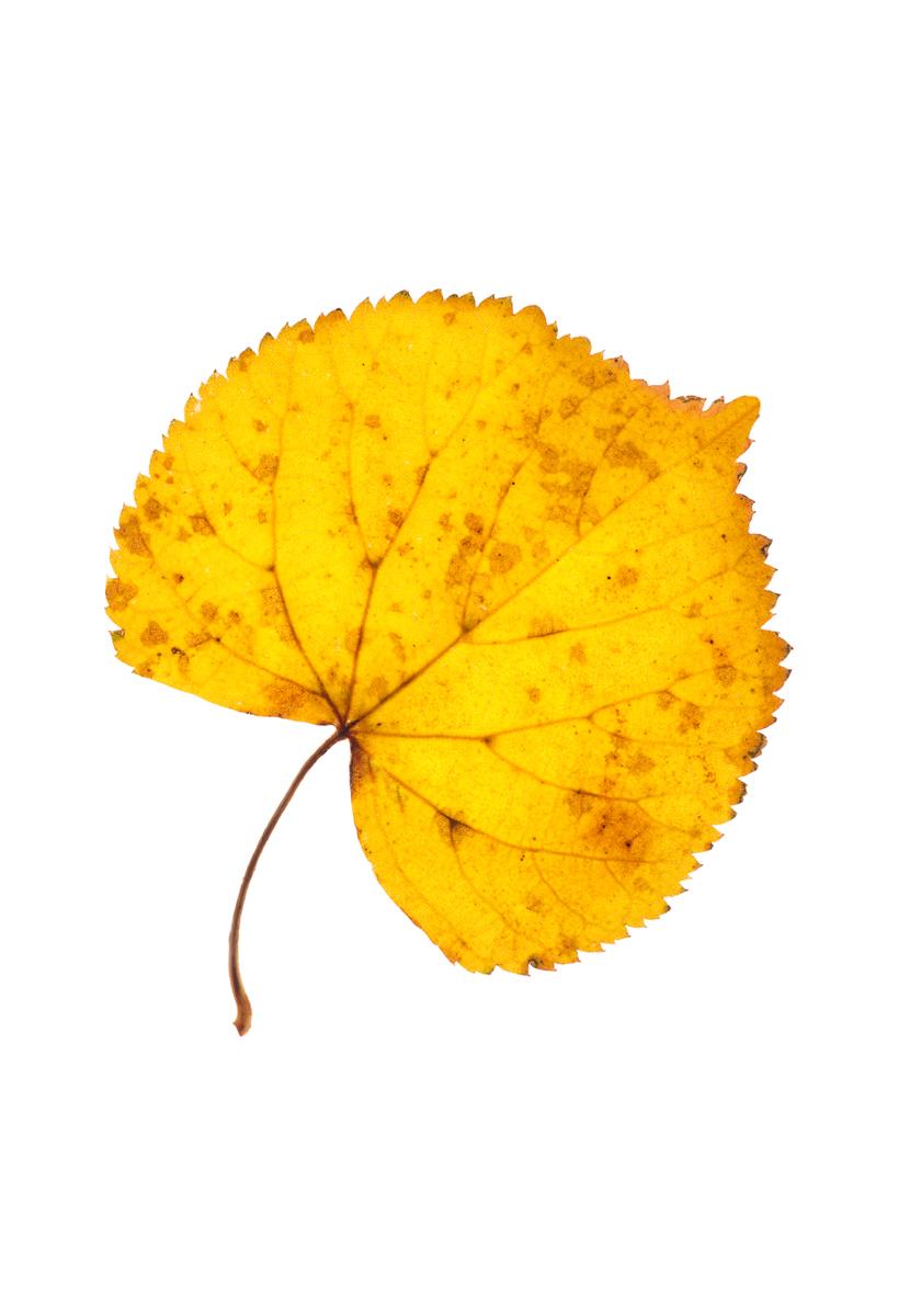 Melyik fa levelét látod a képen?