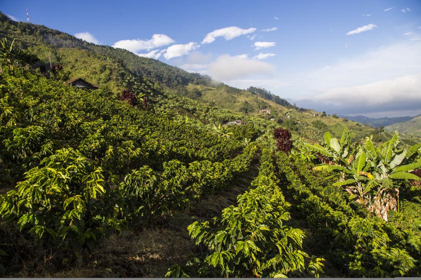 Kolumbia úgynevezett kávé háromszögében található Caldas városa ezzel a gyönyörű ültetvénnyel.
