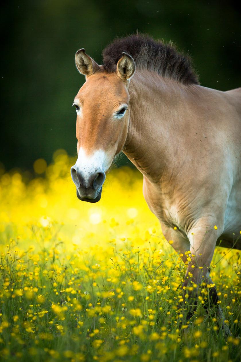 Felnőtt Przsevalszkij-ló. A kép illusztráció.