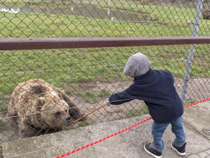 Látogató gyerek eteti fakanálra öntött mézzel a kerítésen keresztül az egyik barnamedvét a Veresegyházi Állatkert és Medveotthonban 2016-ban