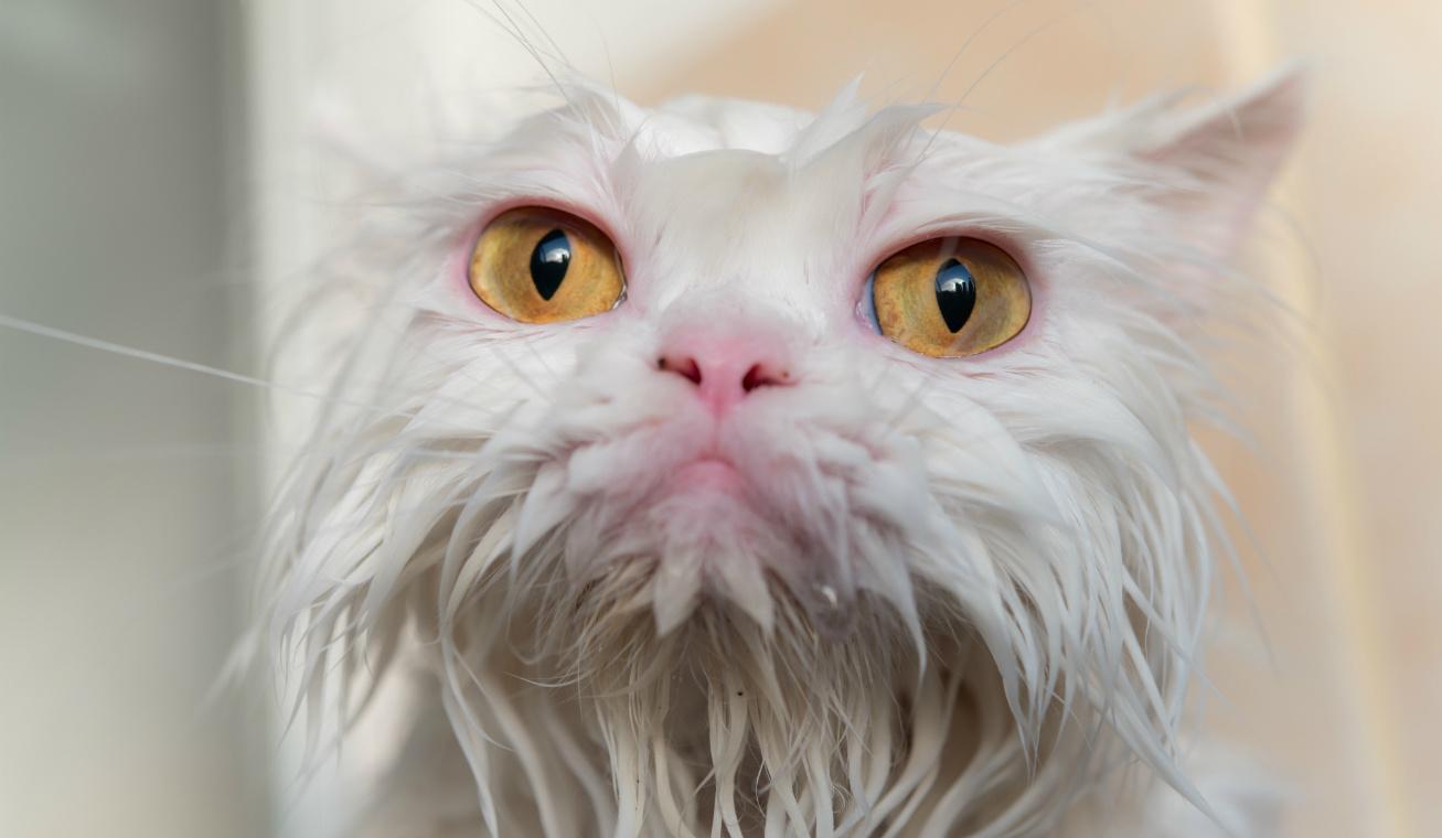 csúnya cica