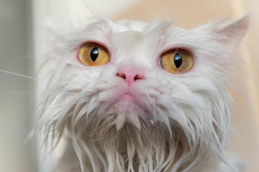 Úgy néz ki a macska, mint egy morcos néni: nagyon vicces a kis szőrmók