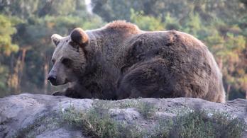 Veresegyházi veszekedés a medvék feje felett