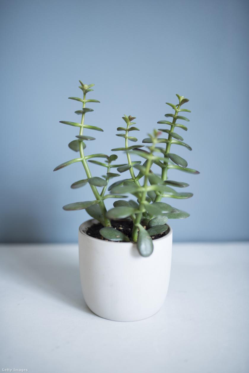 Pozsgafa - Crassula ovata: majomfának is nevezik a pénzhozó növényként emlegetett pozsgafát. Akkor sem csügged, ha megkésik a locsolás, de csak úgy érzi jól magát, ha megfelelő mennyiségű napfényt kap.