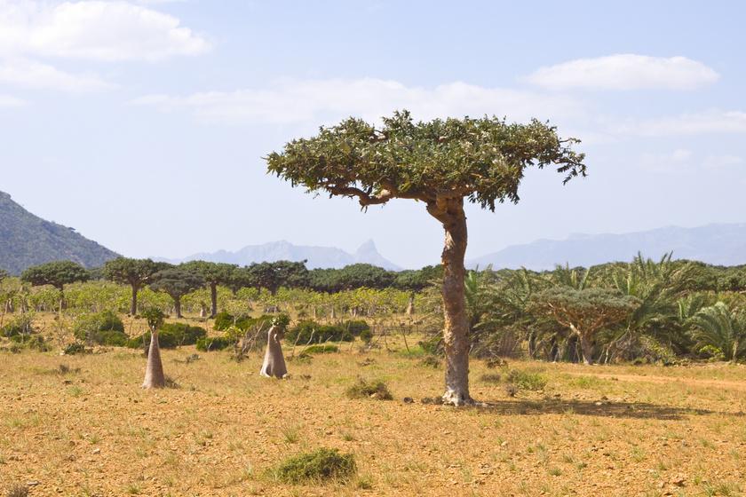 Szomáliai balzsamfa (Commiphora myrrha)