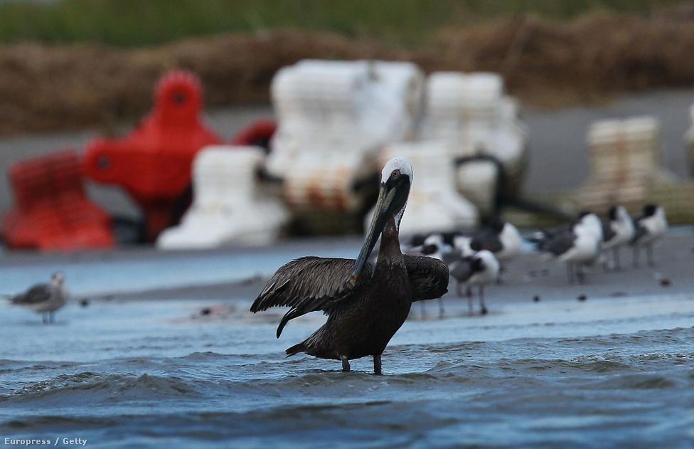 Pelikán próbálja tisztítani magát. Az állat a 2010-es Deepwater Horizon olajkatasztrófa egyik áldozata. Az olajfúró torony balesete után közel nyolcszáz pelikán holttestét találták meg a partok mentén és több száz madarat kellett kézzel megtisztítani, hogy túléljék a szennyeződést és repülni tudjanak, ha jön a költözés ideje