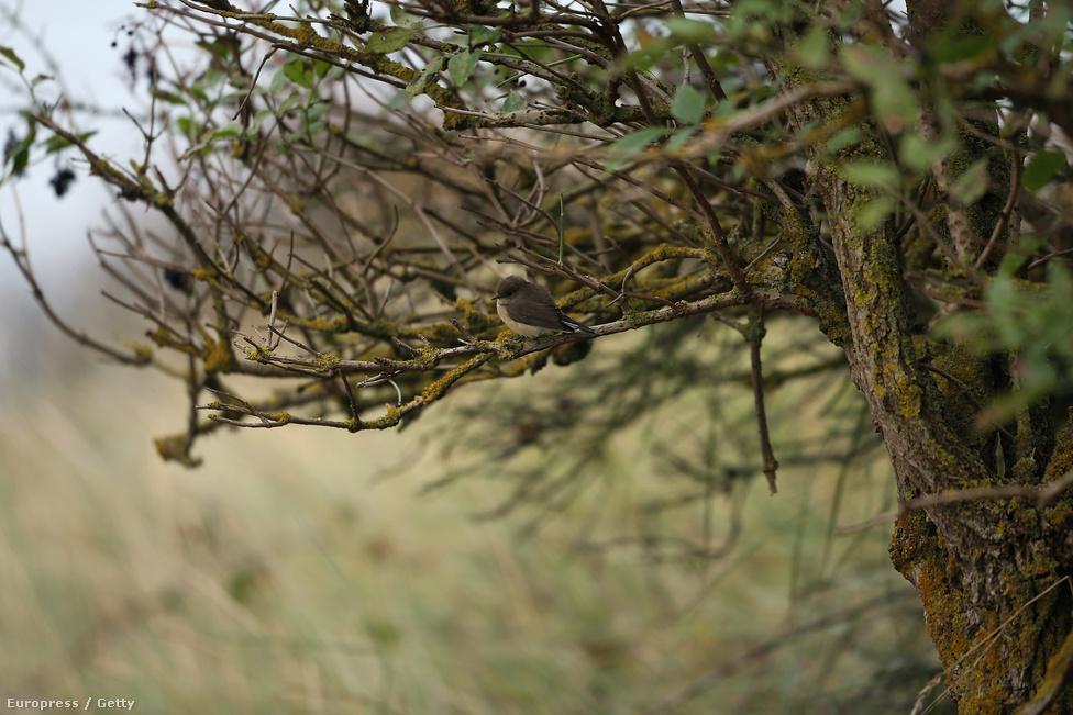 Kis légykapó. Apró termete ellenére a légykapó Ázsia nyugati feléből Európán át Afrikába vándorol télen. Áprilistól szeptemberig Magyarország erdős részein is megfigyelhetők.