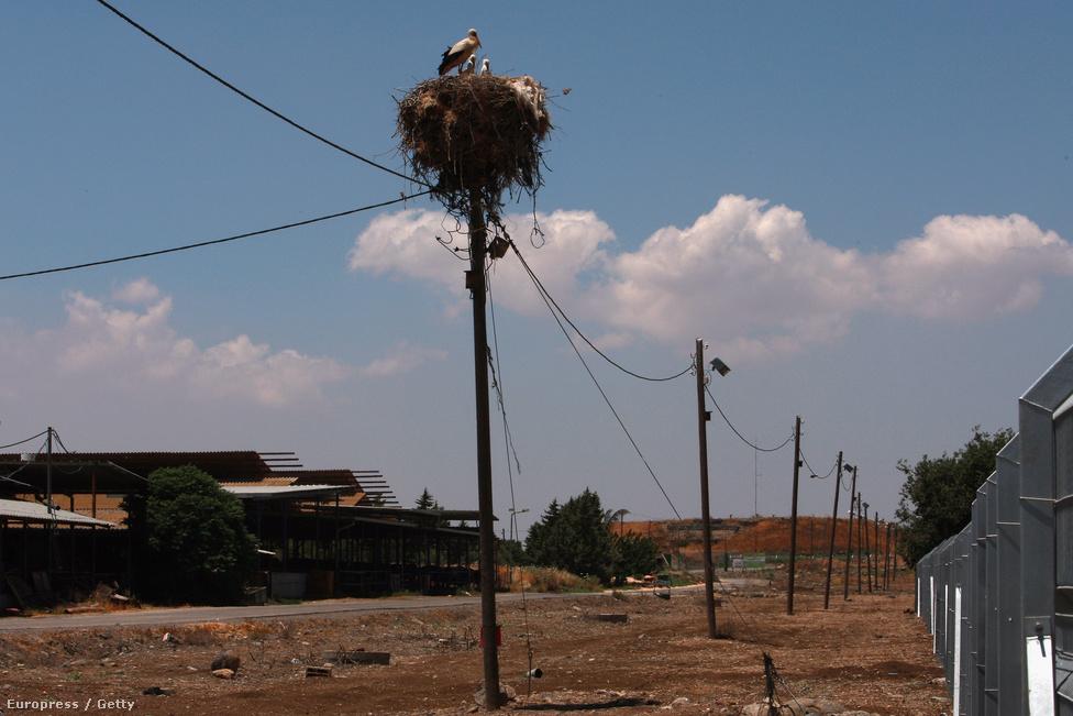 Gólyapár költ a Golán-fennsíkon. Szokatlan kép, ugyanis a gólyák Európában költenek, és telelni mennek Afrikába. Ez a pár úgy döntött, hogy a szíriai határ mentén épít fészket
