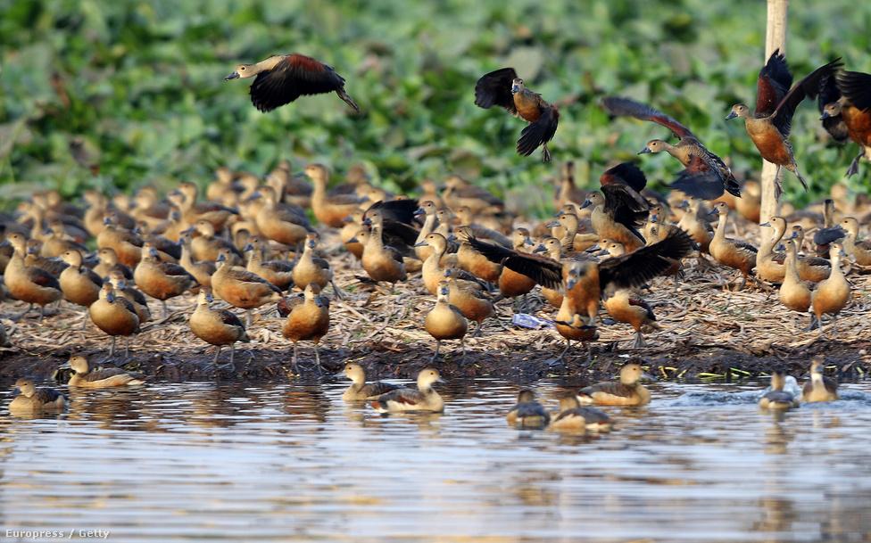 Költöző kacsák egy indiai tóban, ahova telente 4-5000 példány költözik.