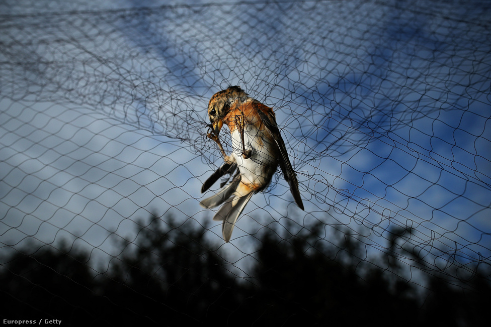 Fenyőpinty egy madárhálóban a Brit Ornitológus Társaság egyik megfigyelőtelepén. A madarakat csak a katalógusba vétel idejére tartják fogva, aztán elengedik őket.