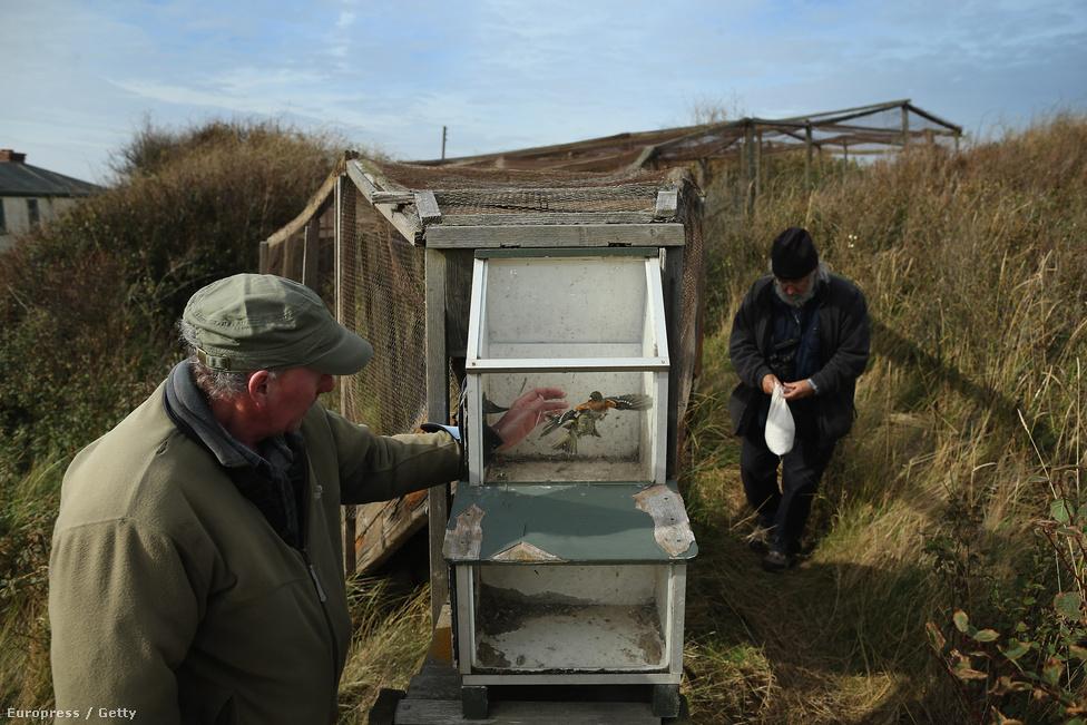 Gyűrűzésre váró pintyek egy brit természetvédelmi központban.