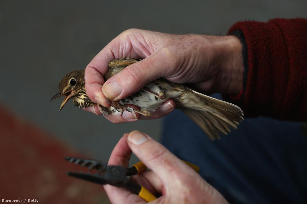 A gyűrűzés a madarak tanulmányozásának legősibb módszere, bár az egyszerű gyűrűk az évek során gps-szel és műholdas követőrendszerrel fejlődtek.