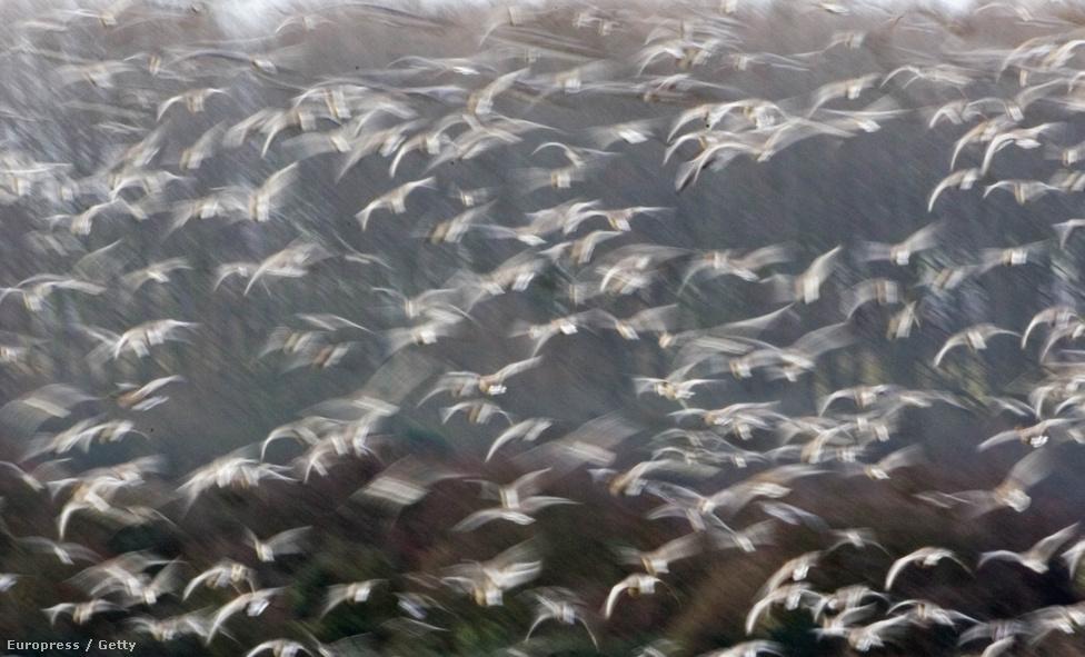 Rövidcsőrű ludak Anglia felett. A ludak Izlandon és Grönlandon költenek, és csak rövid távon vonulnak, így általában megállnak a szigetország déli részén. Ritkán előfordulhatnak a Kárpát-medencében is. Más fajak nálunk is honosak, jellegzetes V alakú csoportjaikról könnyen felismerhetők.