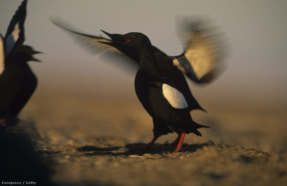 Fekete lumma Alaszka parjainál. A lummák viselkedésének változásával mutattak rá először amerikai kutatók az éghajlatváltozás élővilágra gyakorolt hatásaira. A madárfaj évről évre korábban tér vissza Alaszkába, ahol egyre hamarabb olvad fel a felszínt borító jégtakaró, így elég táplálékot találnak már a nyári pihenőhelyükön is.