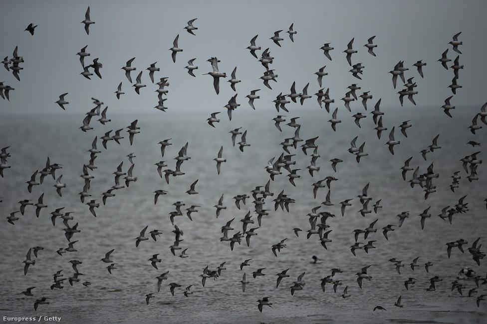 Partfutó madarak serege Angliában. A költöző madarak energiatakarékosságból repülnek csoportosan, a nagyobb testű fajok így 20 százalékkal több energiát spórolnak, mintha egyedül repülnének. A csoport nagyobb védelmet nyújt a költöző madarak vadászatára specializálódott ragadozók ellen is.