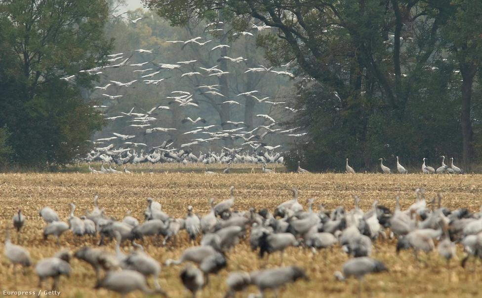Darvak a németországi Linum morácsvidékén. Ezen a környéken minden évben 50 ezer költöző madár pihen meg Skandináviából Dél-Franciaországba és Spanyolországba vezető útjukon.
