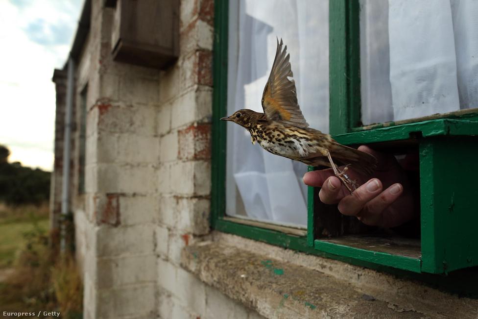 Énekes rigót (Turdus philomelos) enged szabadon egy brit ornitológus, miután a madarat katalógusba vették és meggyűrűzték a Spurn Head madárrezervátumban, Angliában. A rezervátumban található a szigetország legnagyobb madárfigyelő állomása, ami 1950-óta működik a nemzeti park területén. A néhány négyzetmérföldes terület a költöző madarak egyik kedvelt pihenőállomása, mielőtt az Északi-tengeren át tovább repülnek Skandinávia felé.