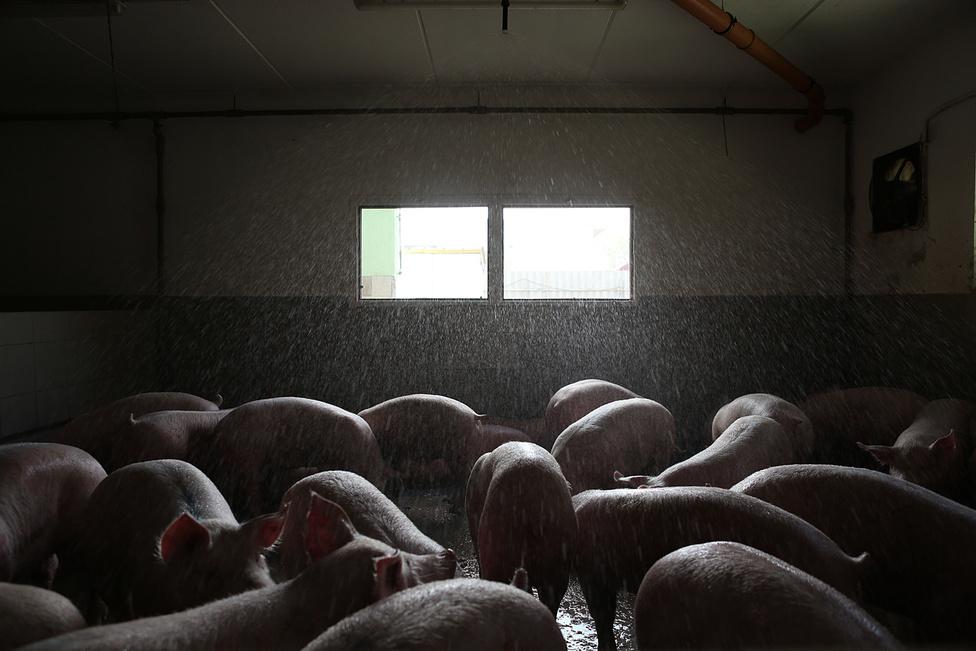 Mosás a vágóhídon. A húskombinátnak korábban saját vágóhídja volt, most Debrecenből szállítják ide a levágott sertéseket