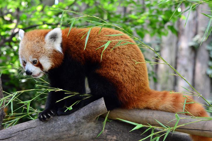 kis panda02 foto Bagosi Zoltan