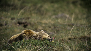Hogyan alszik a medve télen?