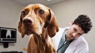 Amikor kényszeresen vakarózik a kutya: a rühesség tünetei, kezelése