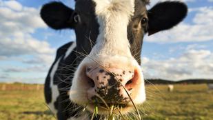 A marháknak elegük van: az állatmentes hús után itt a tehénmentes tej