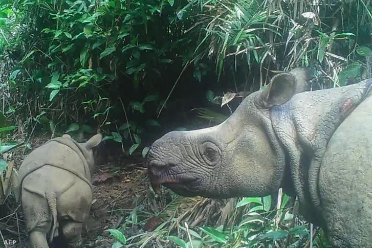 Az Ujung Kulon Nemzeti Parkban lekapott bébi orrszarvú 2020 május 22-én