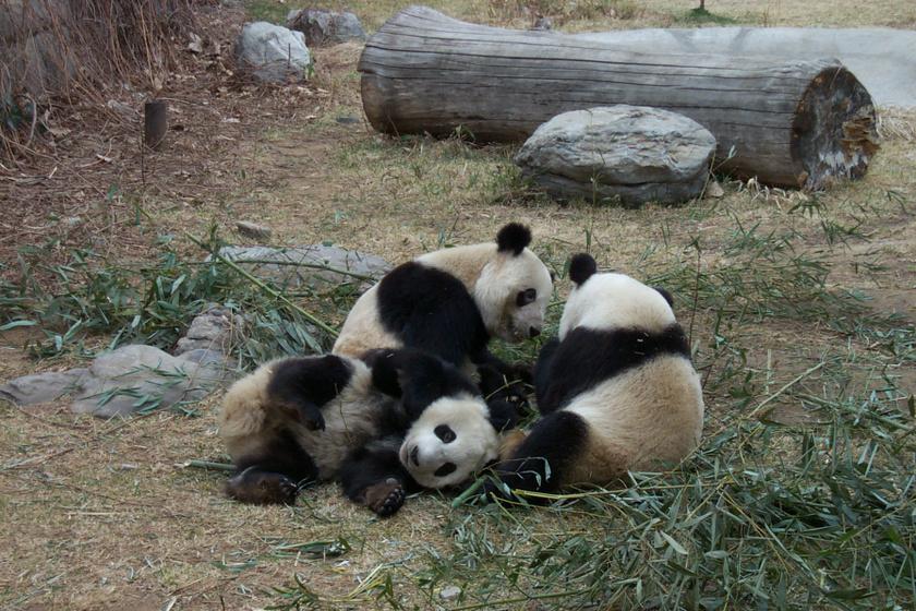 Csak az őszi leveleket akarta összeszedni a gondozó, de a pandáknak más elképzelése volt - Cuki videó!