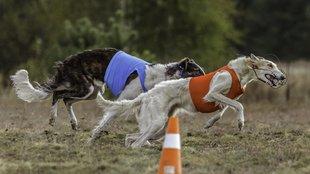 A leggyorsabb kutyák sportja: a dog coursing, azaz az agárverseny
