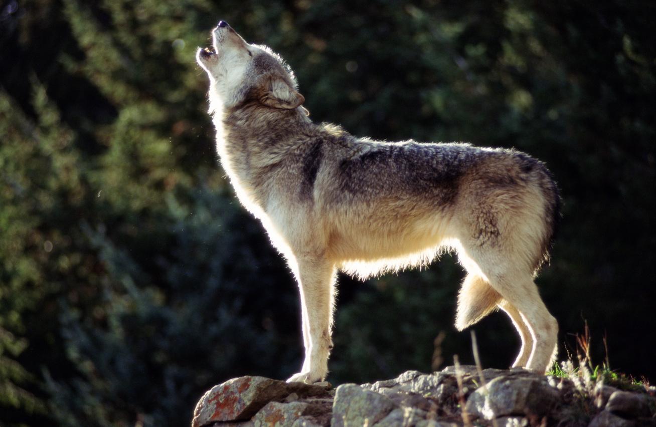 farkas-kutya4