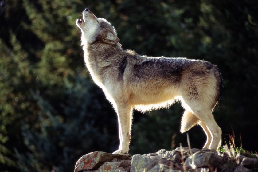 Így viselkedik a farkas, ha kutyához hasonlóan nevelik: magyar kutatók értek el fontos eredményt