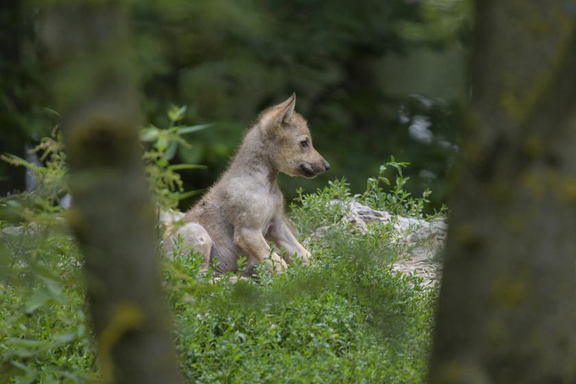 farkas-kutya5