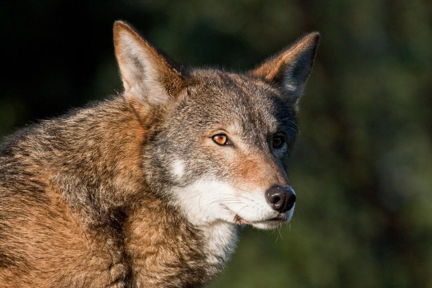 farkas-kutya2