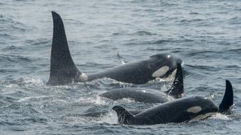 Spanyolországban az atlanti-óceáni partvidéken most veszélyes vitorlázgatni a kardszárnyú delfinek miatt
