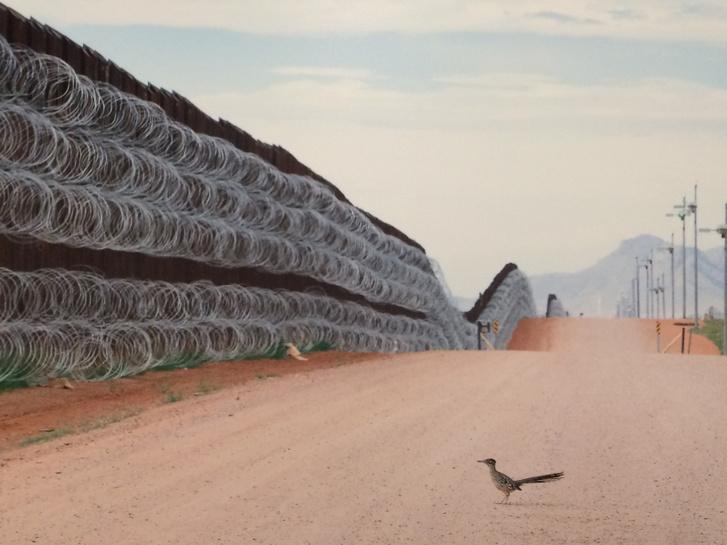 Egy kaliforniai födikakukk az élőhelyén keresztülhúzódó mexikói határkerítésnél, amely több mint 1000 kilométer hosszan tornyosul áthatolhatatlan akadályként.