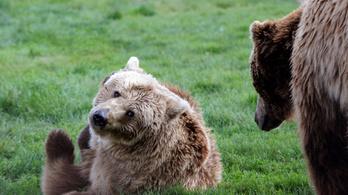 A medvék jól vannak, a jogászokra várnak