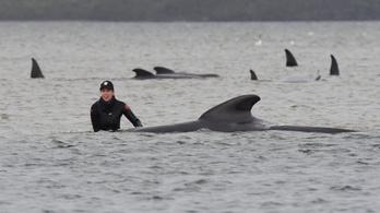 Gömbölyűfejű delfineket mentenek Tasmaniában