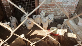 Százötven kutyát tartott a karcagi férfi, a hangszálukat is kivágta