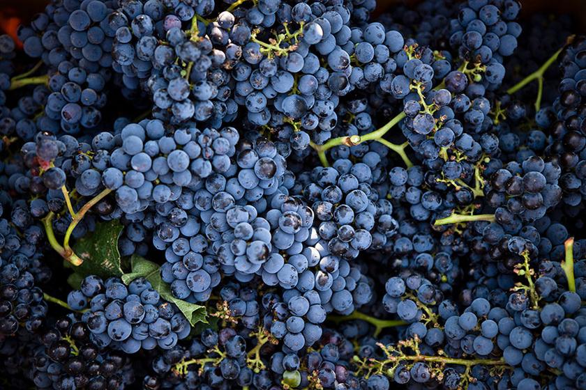 A kékszőlő nagyon egészséges, ezt a színét adó antocianin nevű festékvegyületnek köszönheti. Az antioxidáns tulajdonságú vegyület segít a szív- és érrendszeri, illetve a daganatos betegségek megelőzésében.