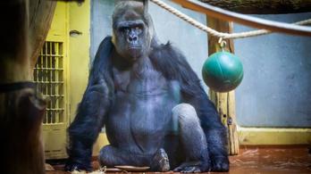 Így néz ki egy sármos, negyvenéves gorilla