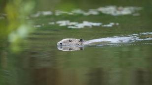 Közröhej kíséri a kitartó természetfotóst, aki négy évig minden este vízbe merült ezért a képért