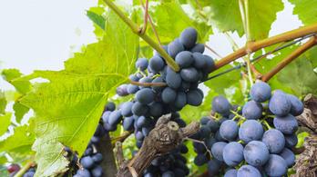 Közepes vagy annál kisebb mennyiségű szőlőre számítanak a szekszárdi borvidéken