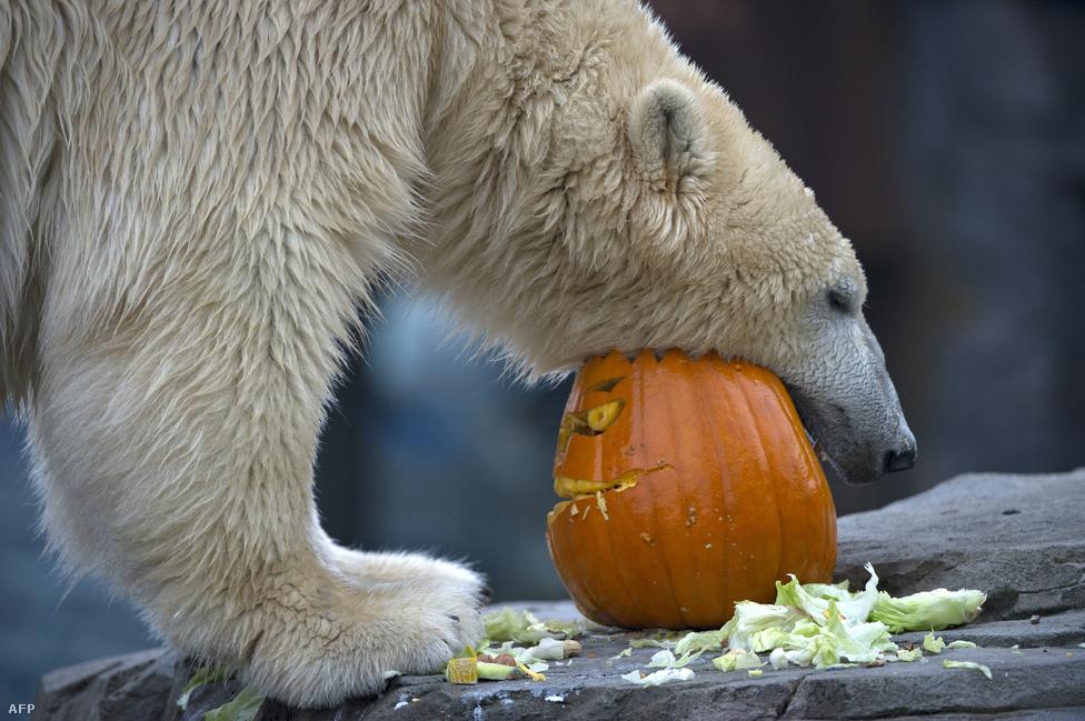 Sprinter, a hannoveri állatkert jegesmedvéje lakmározik a tökben tálalt ebédjéből