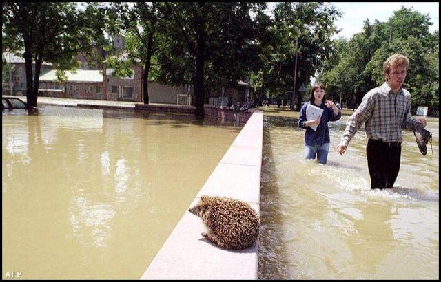 Ez az illusztrációnak használt sün az árvízi mentést várja.