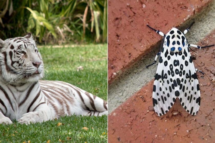 Lenyűgözően különlegesek ezek az állatok: fekete-fehér külsejükben rejlik szépségük