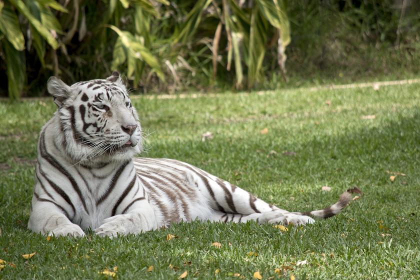 A fehér tigrisek, bár elképesztően gyönyörűek, sajnos a természetben csak ritkán fordulnak elő, hiszen színük miatt a túlélési képességeik kisebbek.