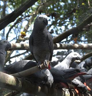 Karanténba kerültek a káromkodó papagájok