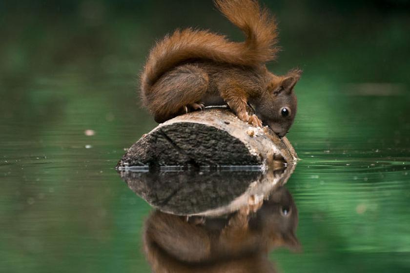 Fantasztikus képek születtek a magukban gyönyörködő mókusokról - Elképesztően cukik